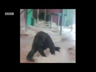 Gorilla dancing at the Twycross Zoo !!!!! April 2016 #HD#viralvideo