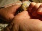Искуственное вскармливание птенцов кореллы