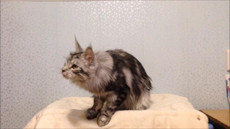 Кошка мейн кун Seven Wind Valyria Валирия