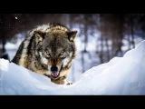 Александр Звинцов -  Волчий закон