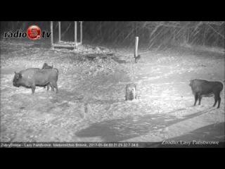 Столкновение зубров с волками (Clash encounters of bisons and wolves)