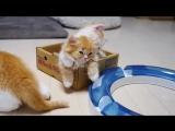 Жесткая боевая доминация котяшки