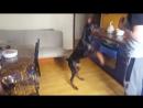 Доберман Доби команды послушание собаки