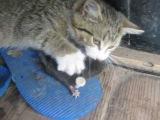 Бой кота с кротом Cat caught a moleкот поймал крота и расправился с ним