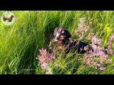 Такса Софи проводит полевые испытания палки   Dachshund Sophie conducts field trials stick