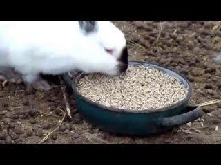 Содержание кроликов зимой в теплице без клеток, т.е.своего рода вольерное содержание.
