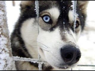 Сибирский хаски, все породы собак, 101 dogs. Введение в собаковедение.