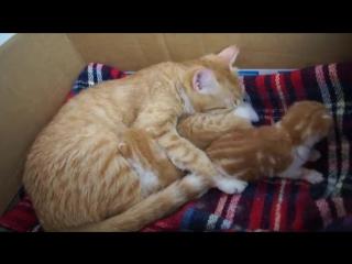 Любящая мама-кошка по-особенному разговаривает со своими малышами