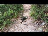 Пестрый варан убивает коврового питона