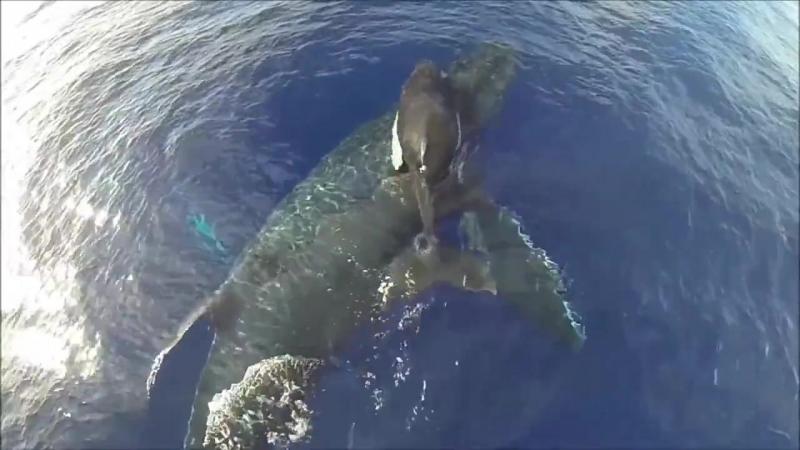 Удивительные съемки самки кита с детенышем с высоты птичьего полета