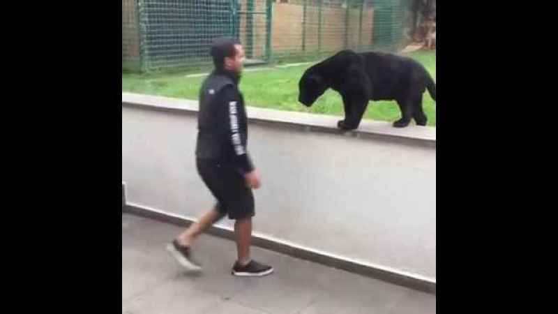 Black Panther sneaks up on a man at zoo before 'launching attack' - there's no glass protecting him