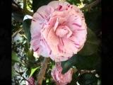 Elly Ameling Du bist wie eine Blume by Schumann