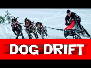 FUNNY DOGS DRIFT! Abrupt video of drift on races of dogsleds!