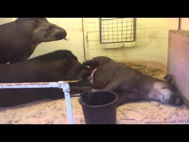Tapir Oral Sex
