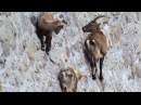 Amazing Footage Goats Climbing on a Near-Vertical Dam National Geographic