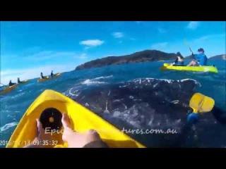 Whale asks for help on kayak tour Rainbow Beach, Queensland