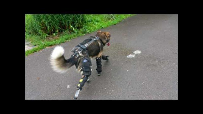 Перший львівський пес на протезах, якого звати Філософ (Філ).