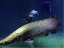 Чернобыльская АЭС:Рыбы-мутанты. Chernobyl NPP fish mutants!