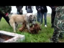 [v-s.mobi]Собачьи бои сао алабай vs питбуль.360p
