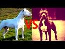 Питбуль vs Американский Старфорширдский терьер (Стафф) [СОБАЧЬИ БОИ]