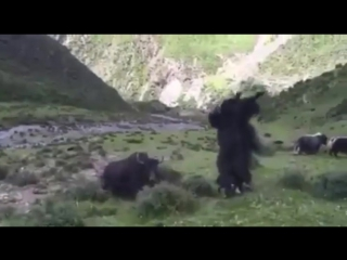 Rare Footage of Yak Battle - YAK FLIP