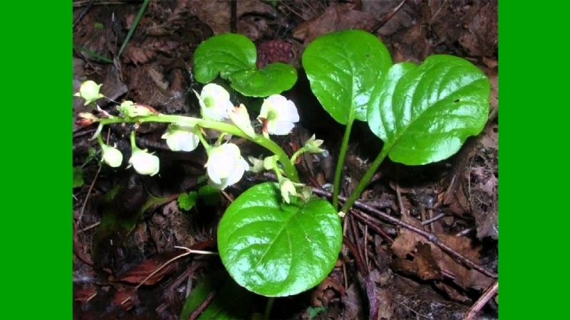 Грушанка круглолистная Pyrola rotundifolia L