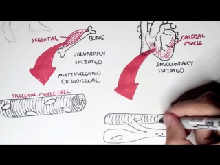 Myology - Introduction (Skeletal, Cardiac, Smooth Muscles)