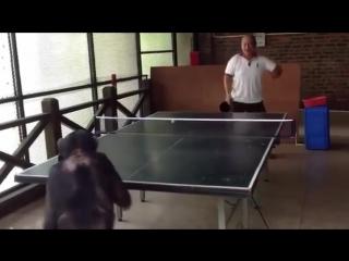 Всегда найдется азиат, который даже обезьяну научит играть в настольный теннис, лучше, чем ты