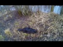 Охота 88 охота на бобра