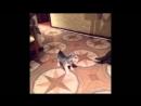 Собака все обоссака / funny dog husky and cat