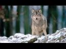 Зимняя загонная охота на крупных волков в Сибири, Якутия.