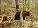 Волк и медведь. Лай волка. Wolf and bear. Barking wolf. дикий мир и поведение животных в нем.