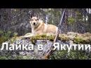 Лайка Выбор щенка и воспитание Охота в Якутии