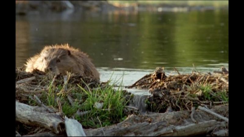 BBC Жизнь млекопитающих Серия 3 Грызуны