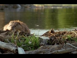 BBC. Жизнь млекопитающих. Серия 3.Грызуны