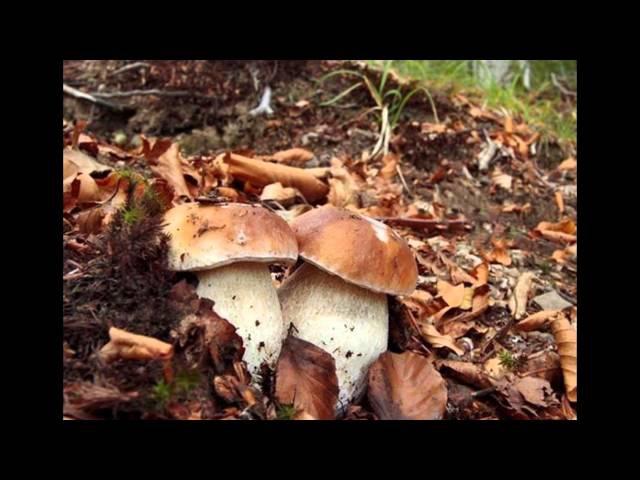 Белые грибы! Turism! Forest, porcini mushrooms, boletus edulis and berries (watch free photos)!