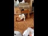 кот розовая пантера