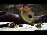 Биотопный аквариум для мадагаскарских цихлид Paretroplus maculatus