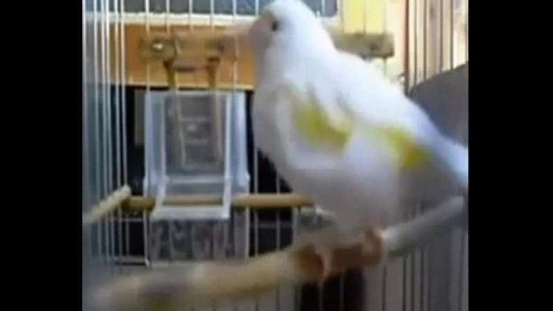 Мутационный щегол поёт