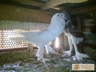 Голуби якубіни ціна фото фото 164-766