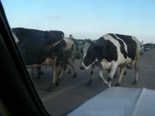 IMGP8891_Перегон скота по пути в Белоомут