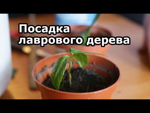 Лавр благородный ( как посадить, размножать и ухаживать дома за лавровым деревом)