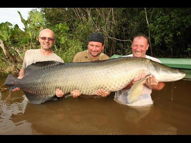 Arapaima gigas 120 kg ,Amazonie