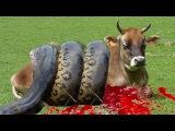 Giant Anaconda Attacks Cow Video | Giant Anaconda Attacks Compilation 2016 | Anidis