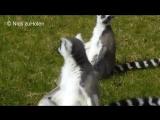Кошачьи лемуры и их загадочный ритуал