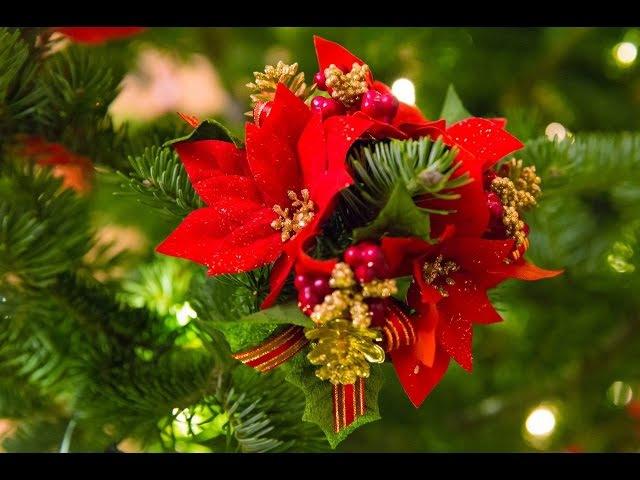 Пуансетия уход в домашних условиях. Цветок рождественская звезда