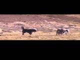 Одинокий волк против 6 собак Lone Wolf vs 6 Dogs
