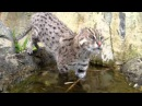 1 year old fishing cat Prionailurus viverrinus female in the water, RSCC