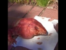 Макгайвер ящерица породы аргентинский красный
