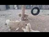 Видеохит: смелый щенок лишил обеда трех львят